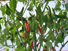 Thai Hot Chilisamen / Chili Saatgut