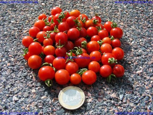 peruanische wildtomate tomaten samen wildtomatensamen. Black Bedroom Furniture Sets. Home Design Ideas