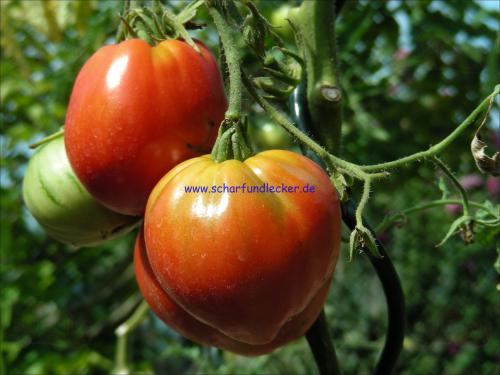 ochsenherz tomaten samen kaufen