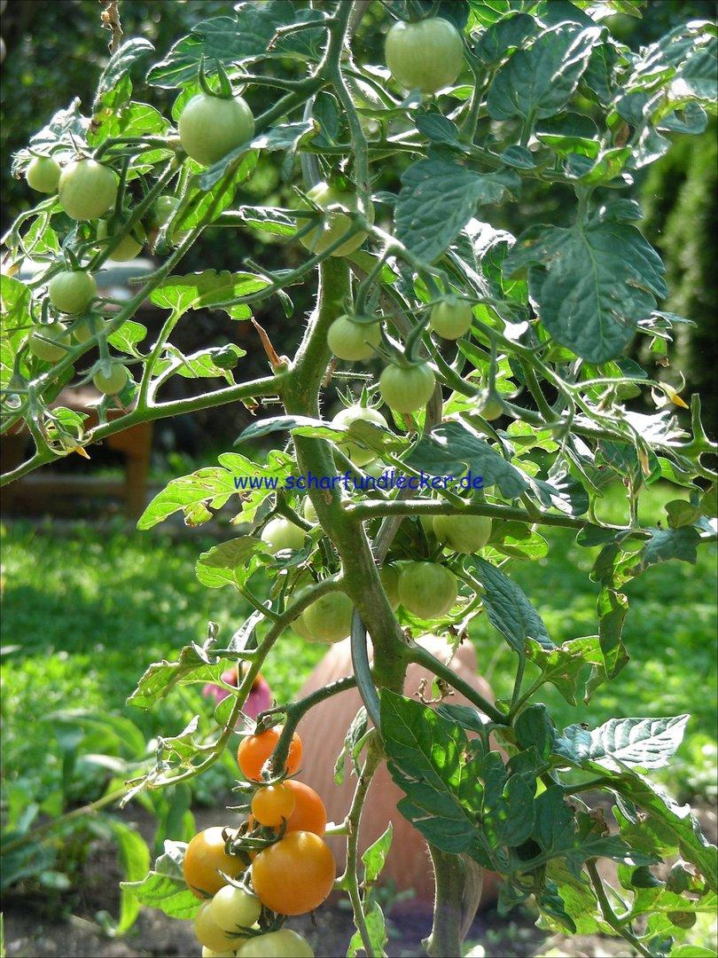 katinka tomatensamen kaufen tomatensorten. Black Bedroom Furniture Sets. Home Design Ideas