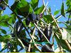 Black Hot Hungarian Chilisaatgut -  Chili Samen