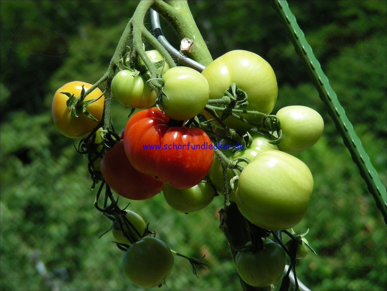 blagovest russische tomate tomaten samen tomatensaatgut. Black Bedroom Furniture Sets. Home Design Ideas